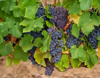 Les vignobles