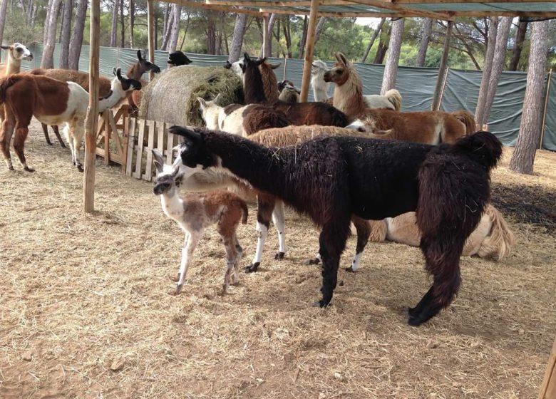 Var Lamas